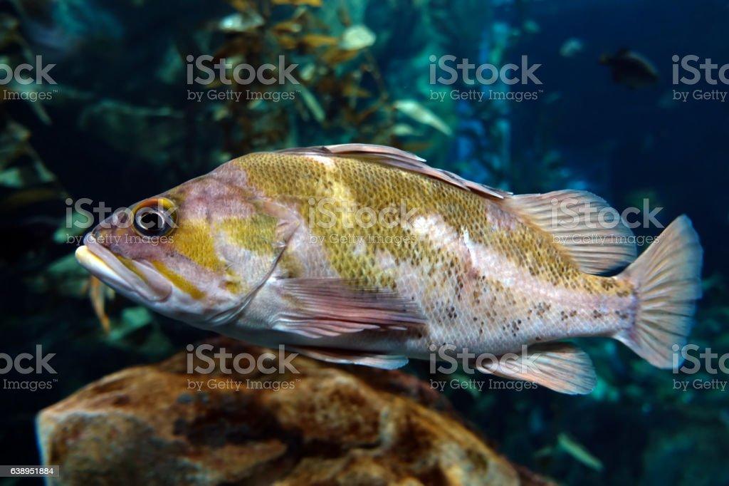Fish Largemouth bass (Micropterus salmoides) ,close up detail stock photo