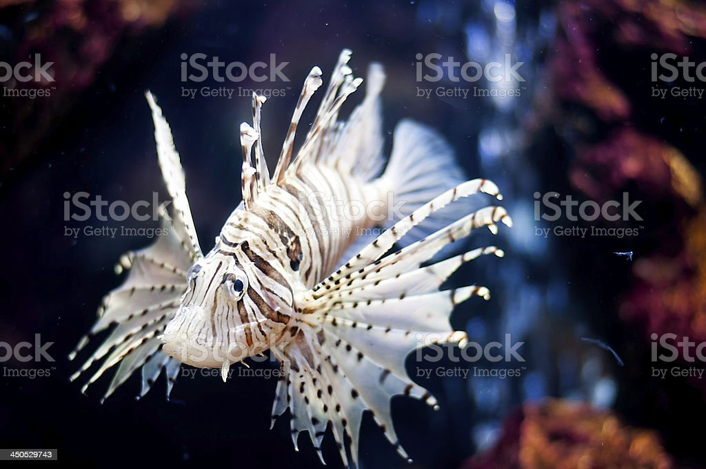 Fish lions royalty-free stock photo