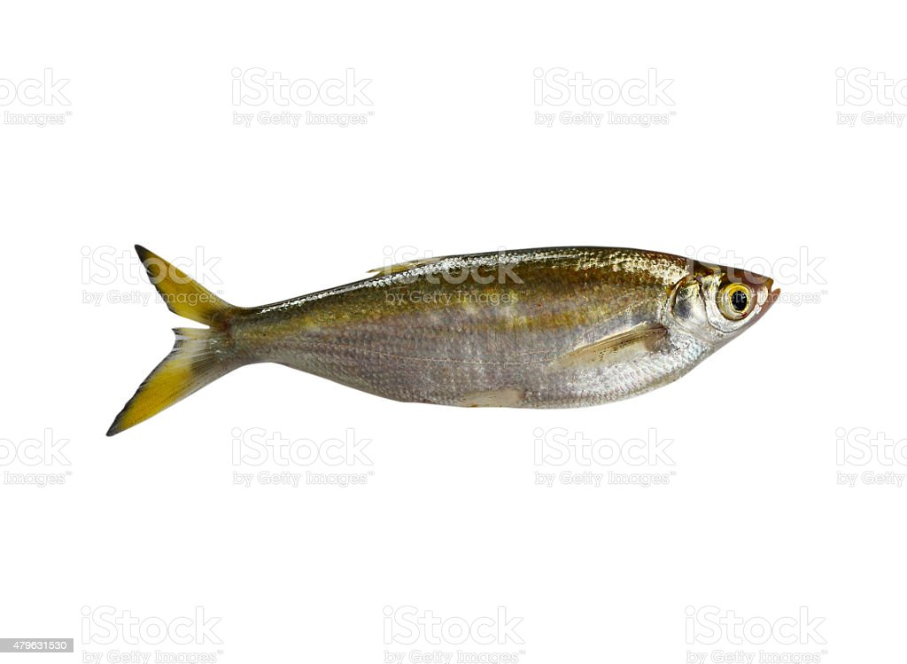 fish Minnow isolated on white background stock photo