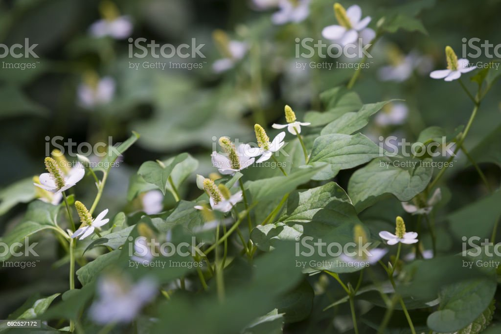 Fish mint flowers stock photo