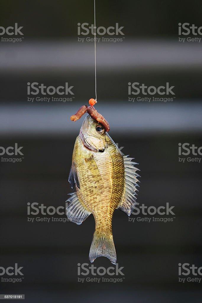 Fish on fishing line stock photo