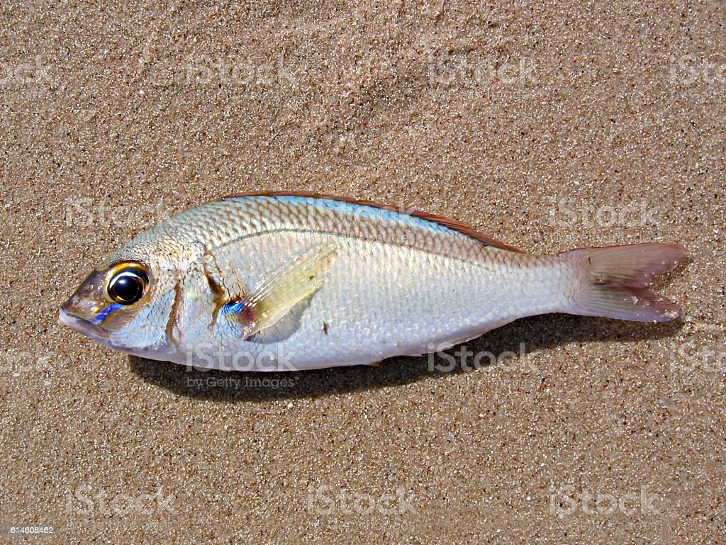 Fish on Sand royalty-free stock photo