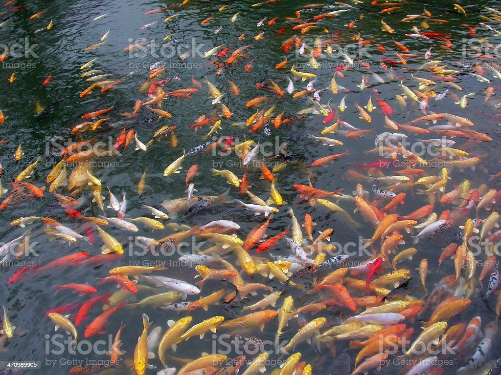 Fish Pool royalty-free stock photo
