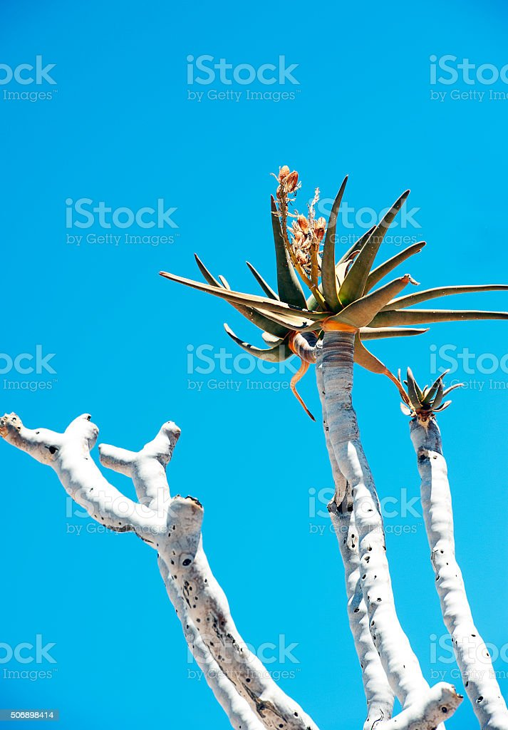 Fish River Canyon Quiver tree flower, Namibia, Africa stock photo