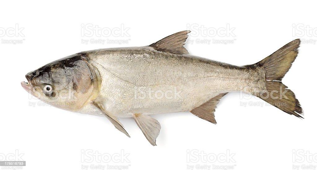 Fish Silver Carp, Hypophthalmichthys Molitrix stock photo