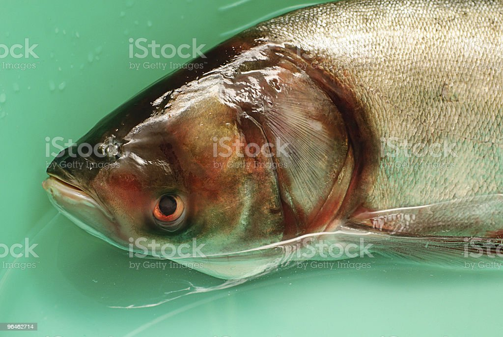 Fish silver carp,hypophthalmichthys molitrix in water stock photo