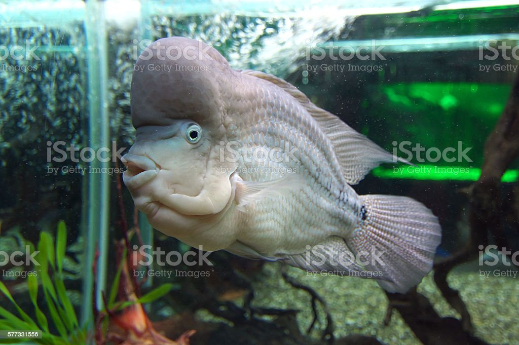 Fish species 'Cichlasoma temporalis' in the aquarium stock photo
