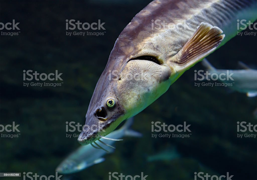Fish sturgeon stock photo