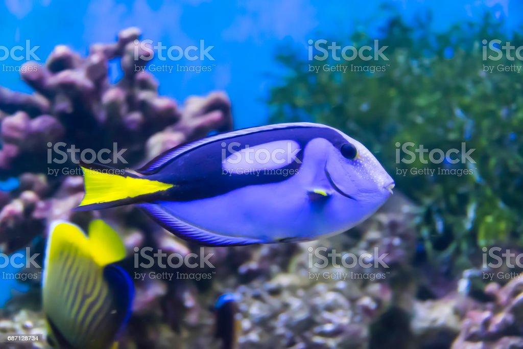 Fish surgeon  in  aquarium stock photo
