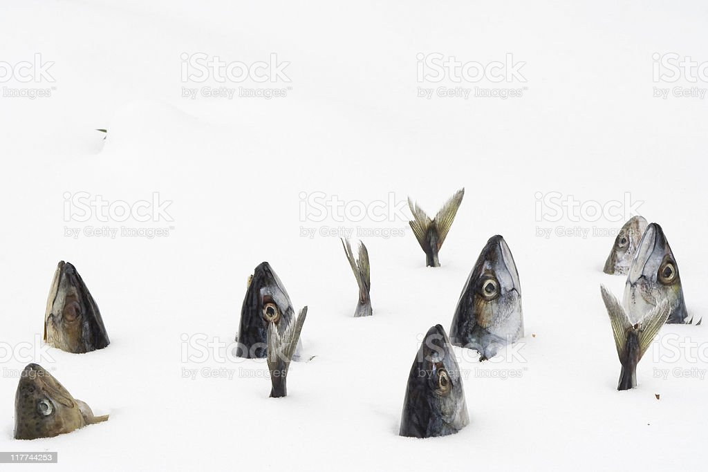 Fish 'swimming' in the snow royalty-free stock photo