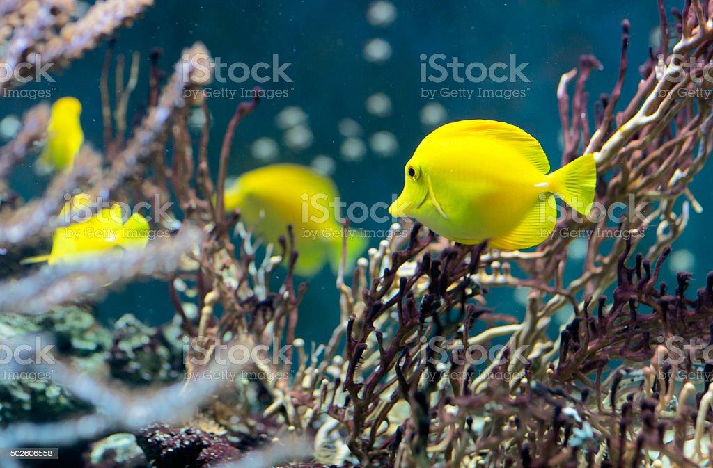 Fish swims in the water in the aquarium. stock photo