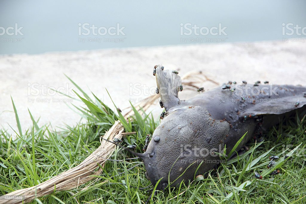Fish that died from the sewage and Fly swarming. royalty-free stock photo
