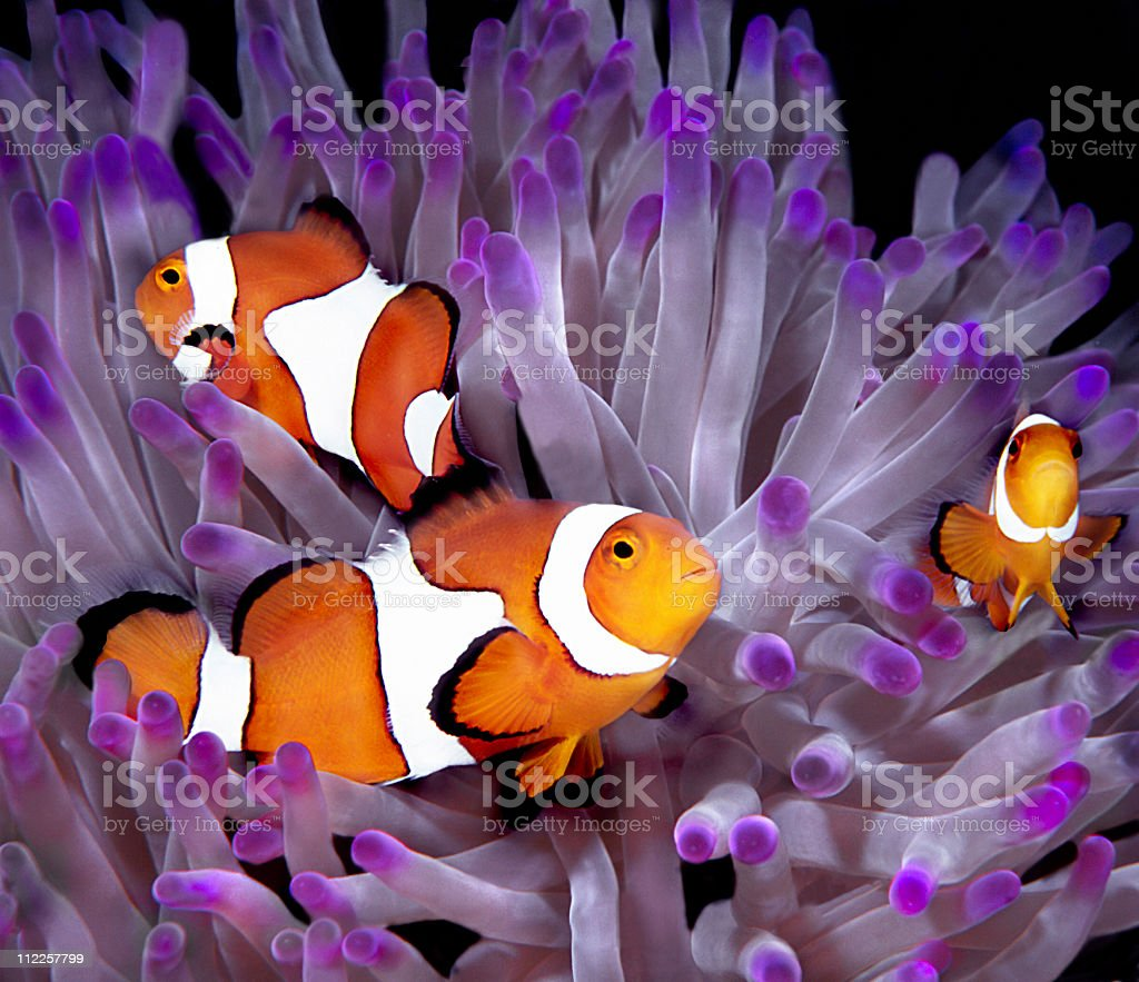 Fish: Tropical saltwater, clownfish, anemonefish (Amphiprion Ocellaris) stock photo