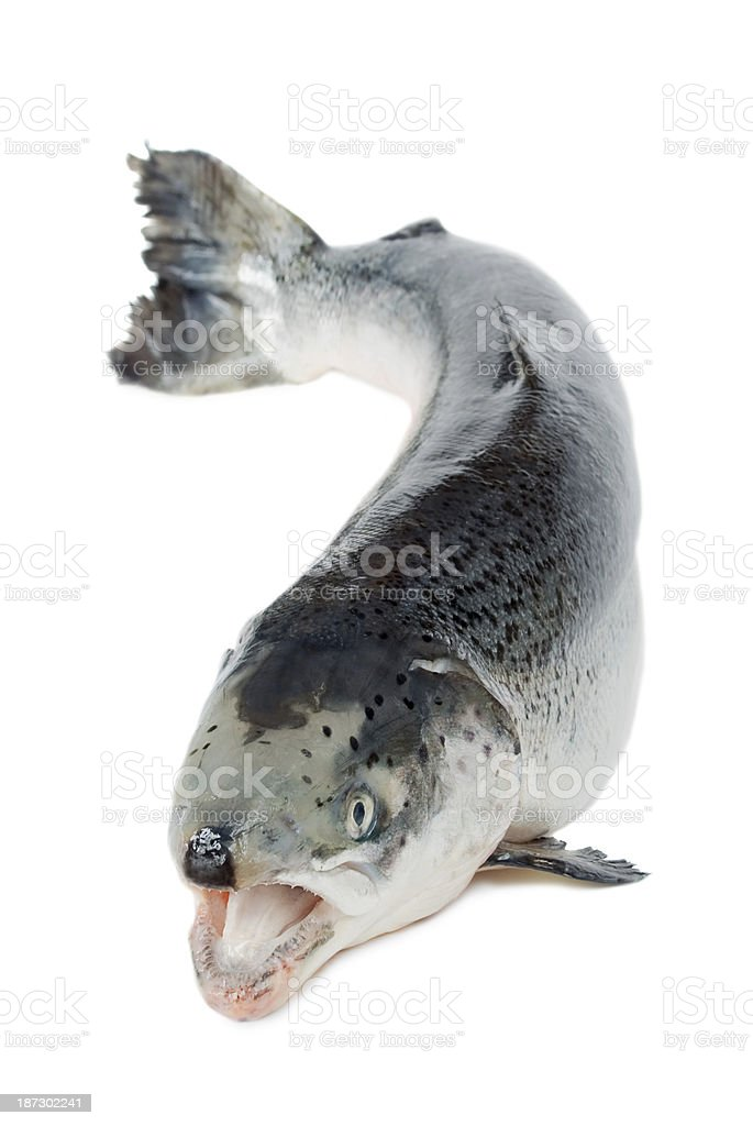 fish trout stock photo