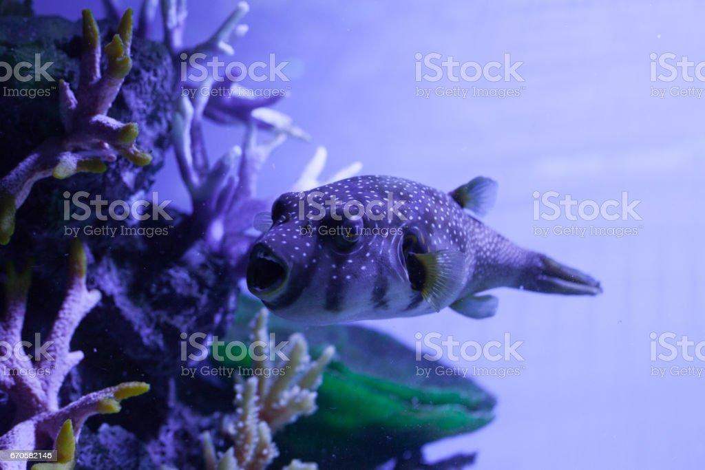 Fish with open mouth. Arothron hispidus stock photo