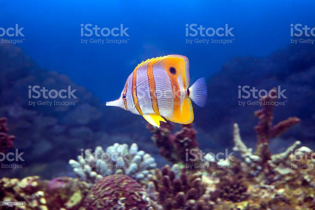 Fish-butterfly tweezers Helman stock photo