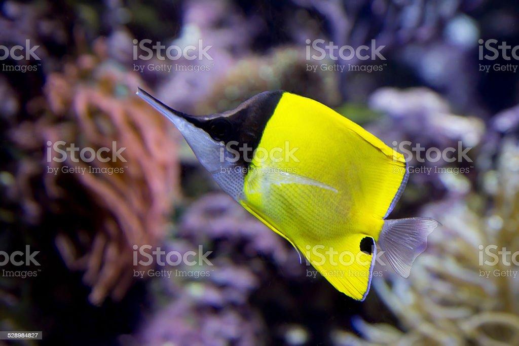 Fish-butterfly tweezers. stock photo