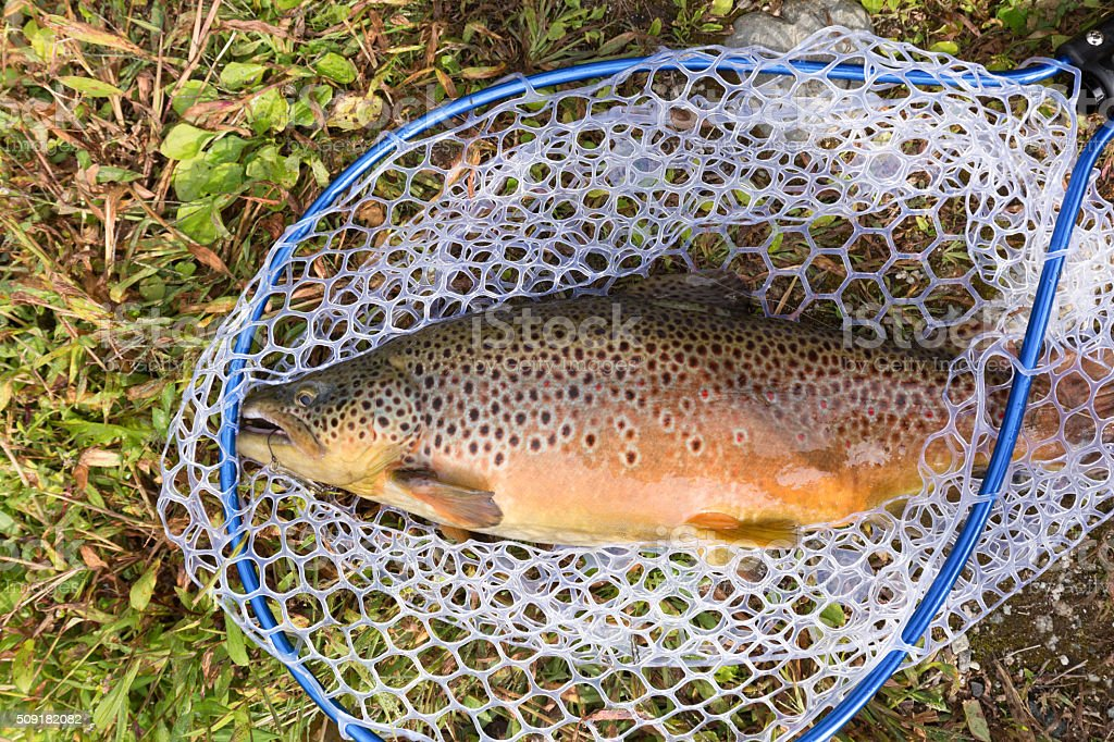 Fished brown trout stock photo