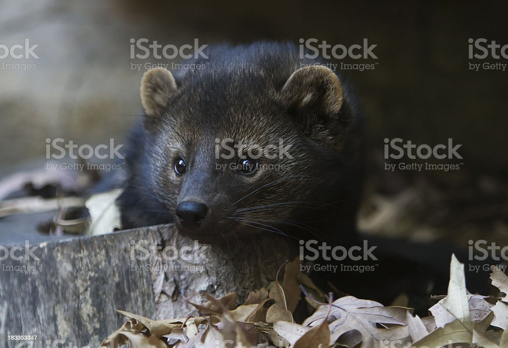 Fisher portrait (Martes pennanti) royalty-free stock photo