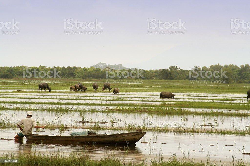 fisherman and waterbuffalo in asia royalty-free stock photo