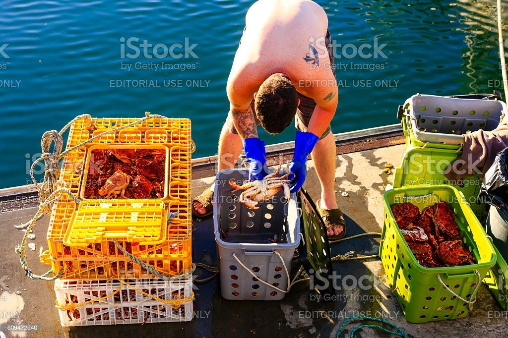 Fisherman at Santa Barbara harbor checking the latest crab catch stock photo