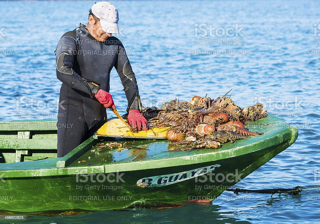 Fisherman Cleaning his Daily Catch of Lobsters stock photo