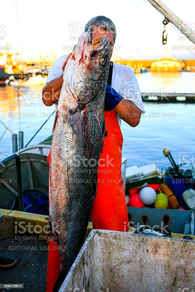 Fisherman hauling Sea Bass at Santa Barbara harbor stock photo