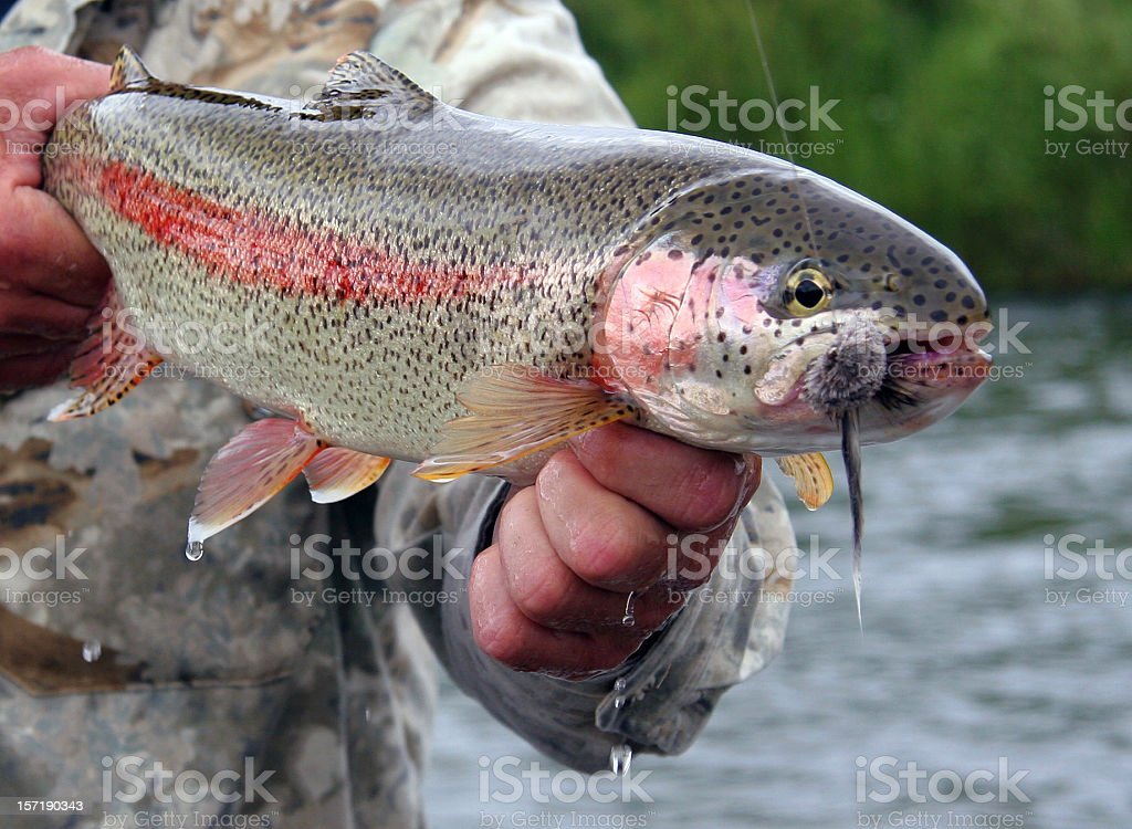 Fisherman holding a trout caught in the Kanektok, Alaska stock photo
