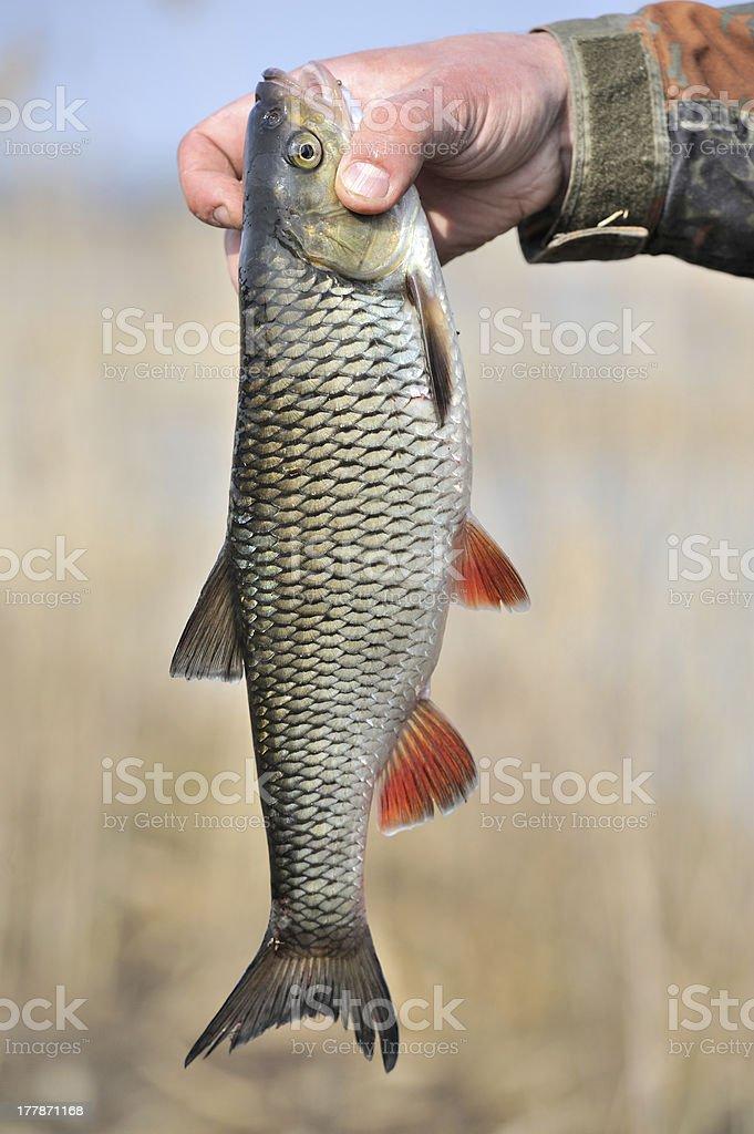 Fisherman Holding His Catch, European Chub Fish royalty-free stock photo