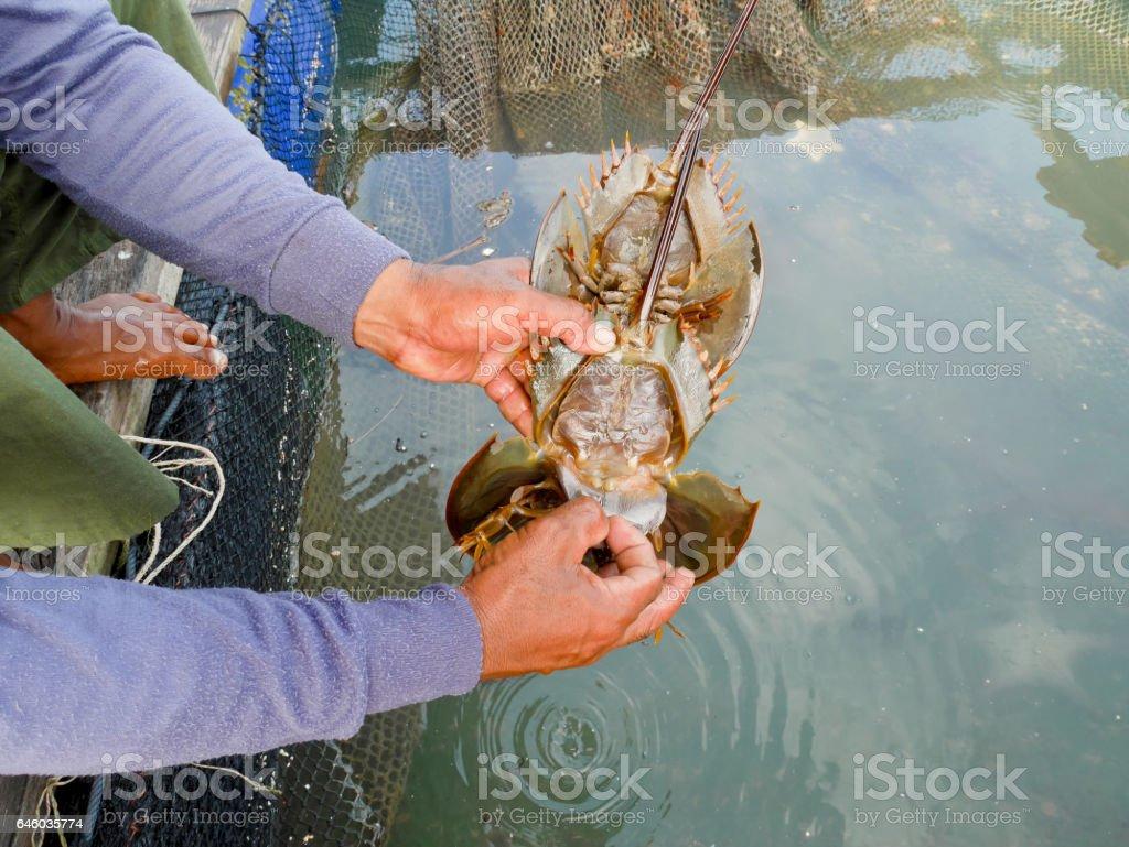 Fisherman holding horseshoe crab stock photo