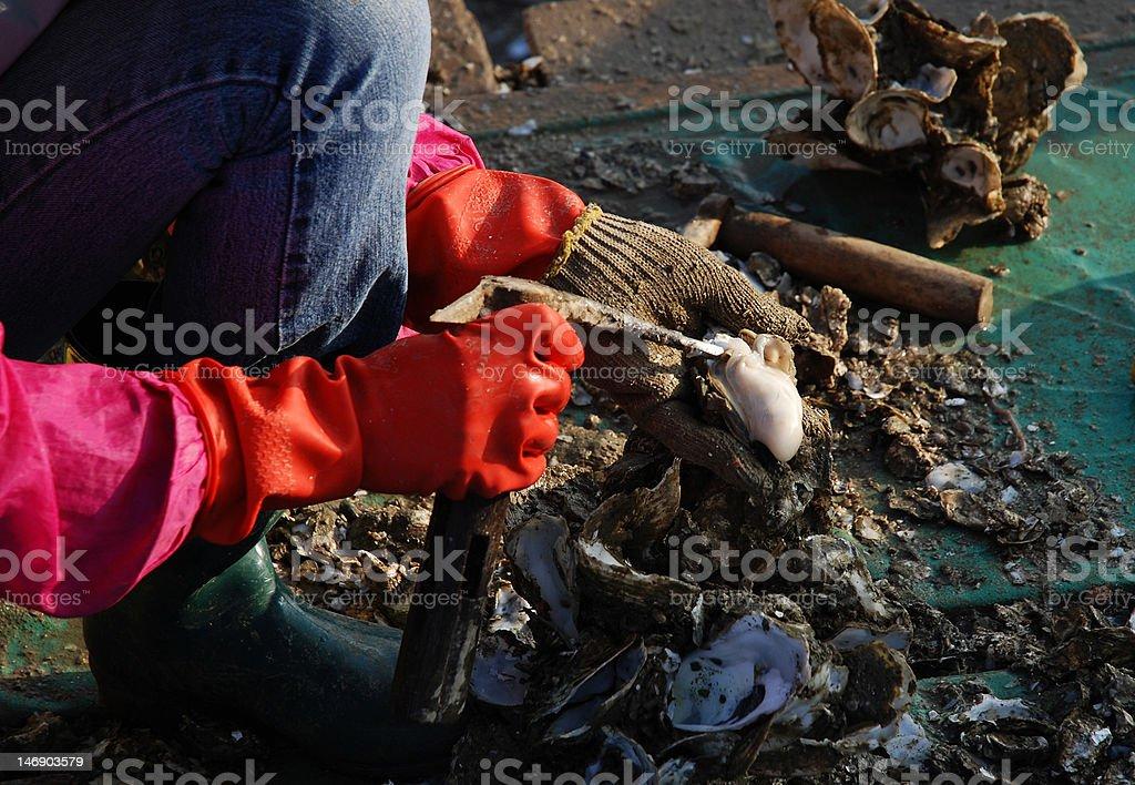 Fisherman picking oyster royalty-free stock photo
