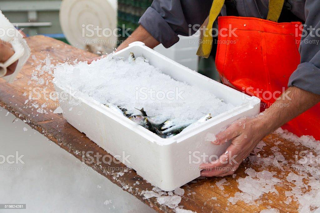 Fishermen prepare sardines for transportation stock photo