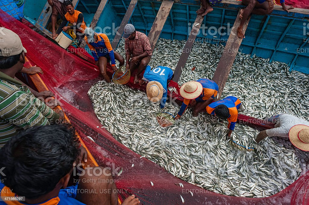 Fishermen pull in a catch of sardine, Kannur, Kerala, India. royalty-free stock photo