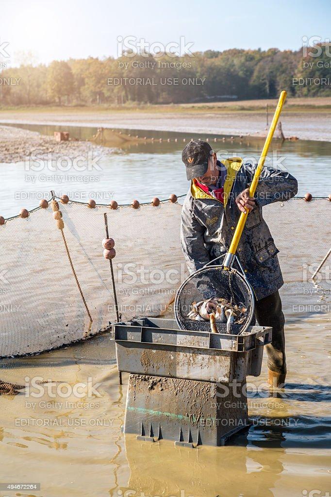 Fishermen retrieves fishes with landing net catching of fish stock photo