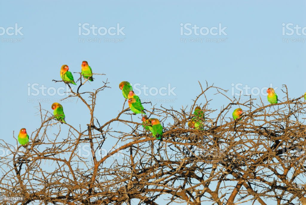 Fisher's Lovebirds stock photo