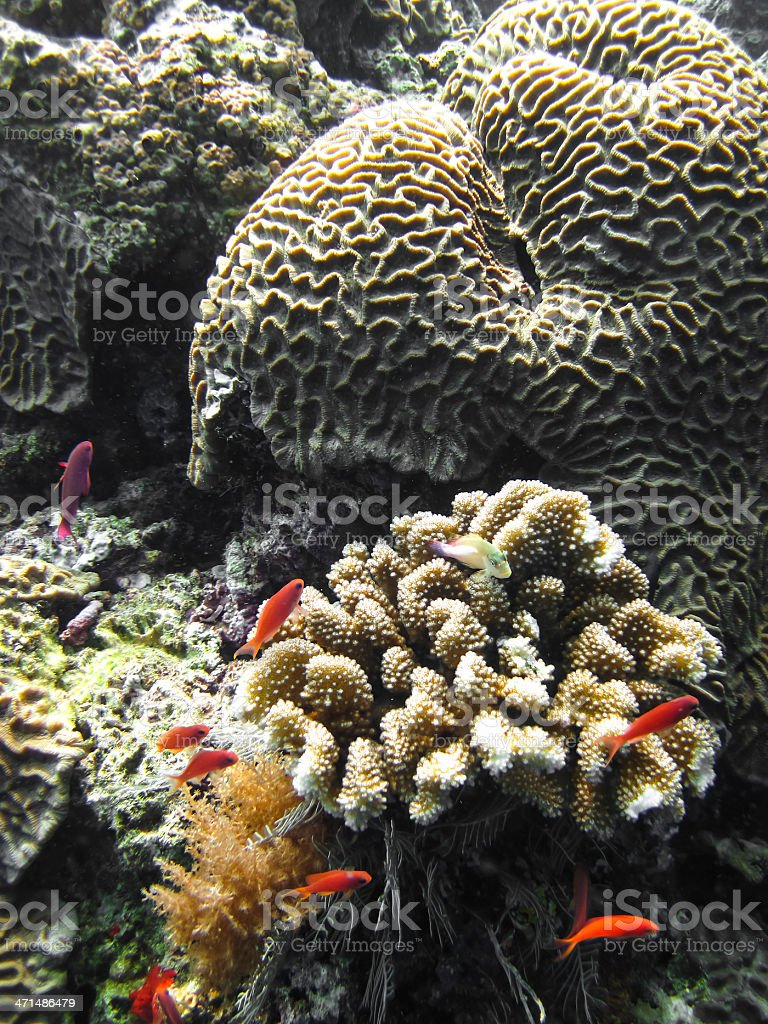 Fishes and coral reef royalty-free stock photo