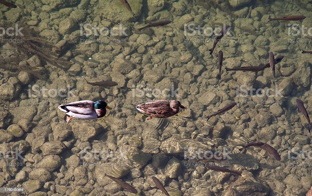 Fishes and ducks swiming royalty-free stock photo