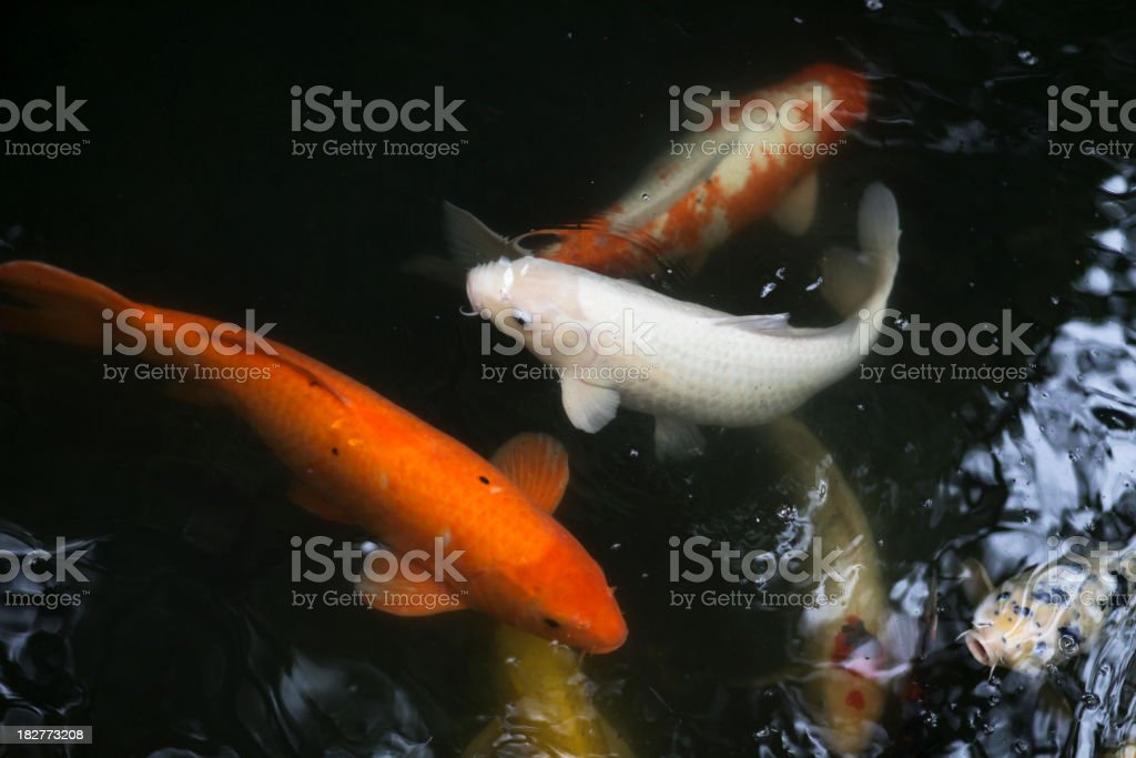 Fishes of the Temple stock photo