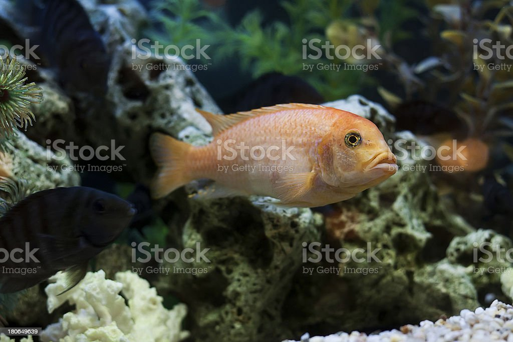 Fishes swimming in an aquarium royalty-free stock photo