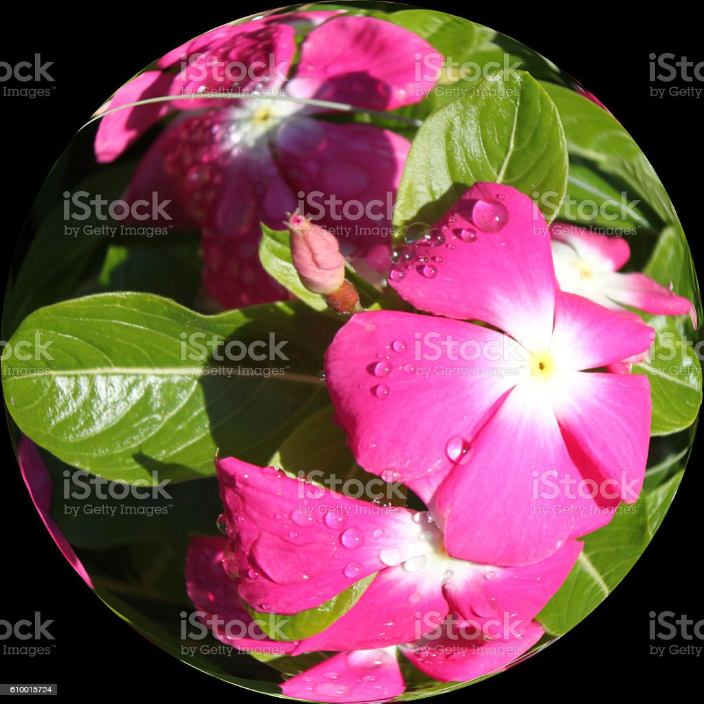 Fisheye of a dew in the morning over some roses stock photo