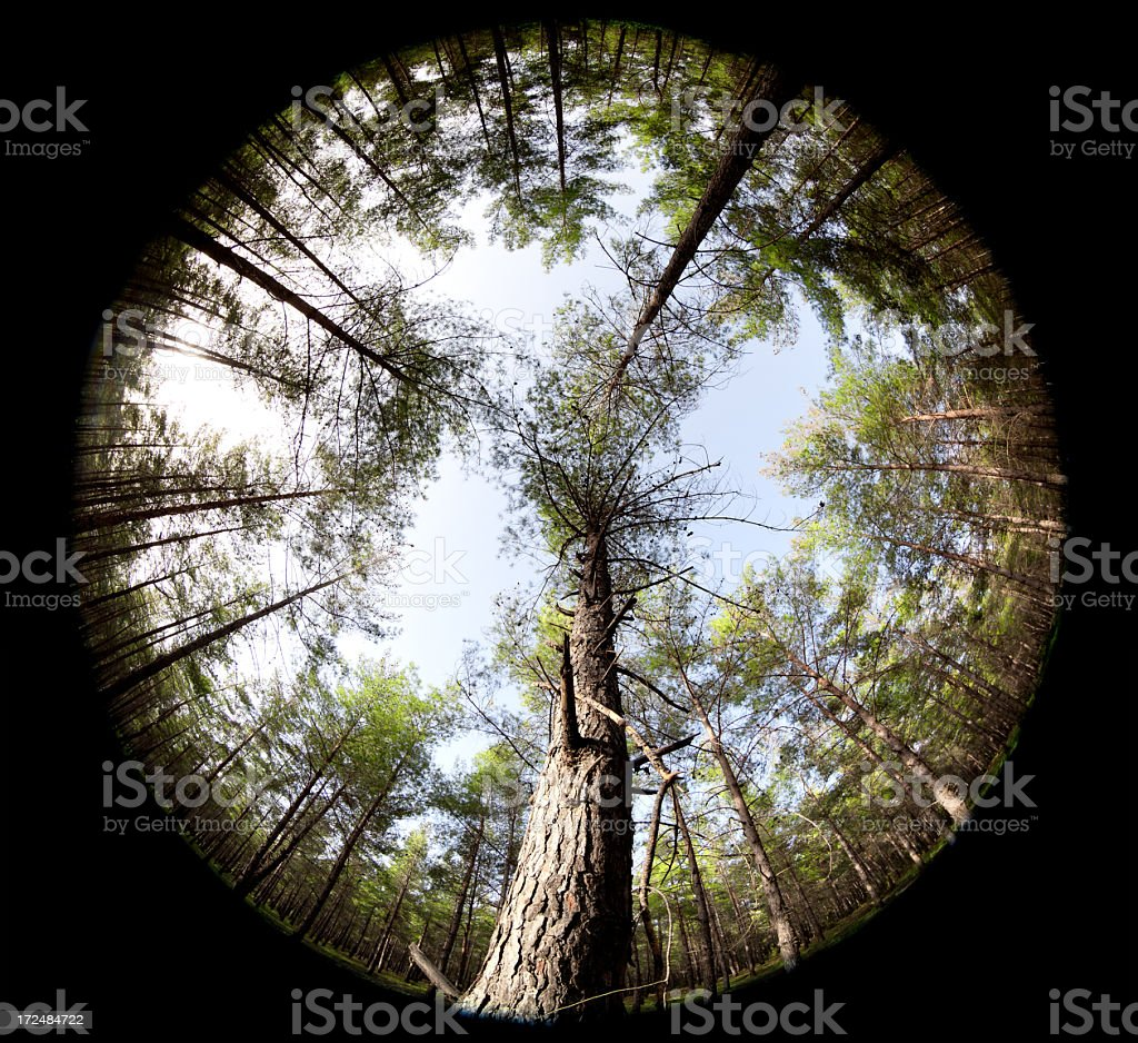 Fisheye view of pine trees in wood on sky royalty-free stock photo