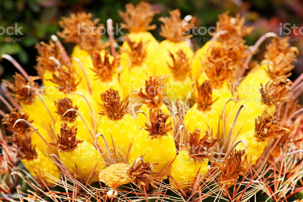 Fishhook Cactus Fruit Bloom Ferocactus wislizeni stock photo