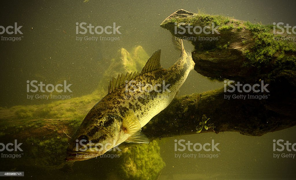 fishing for largemouth bass fish royalty-free stock photo
