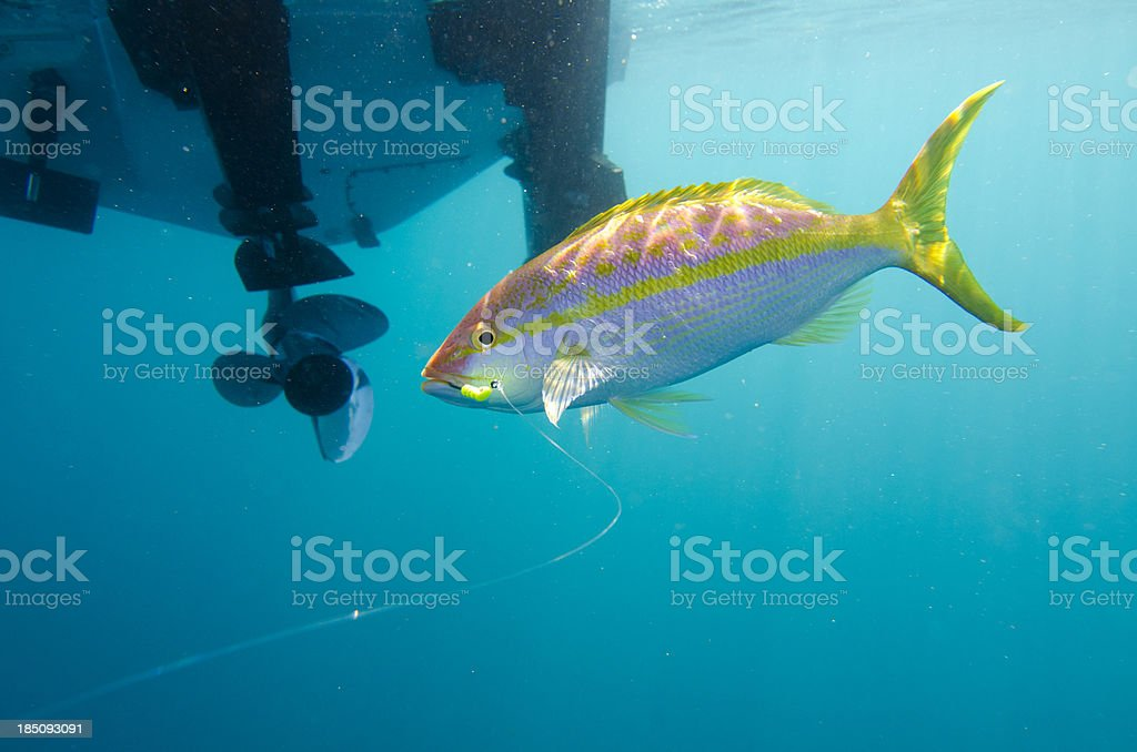 Fishing for Yellowtail stock photo