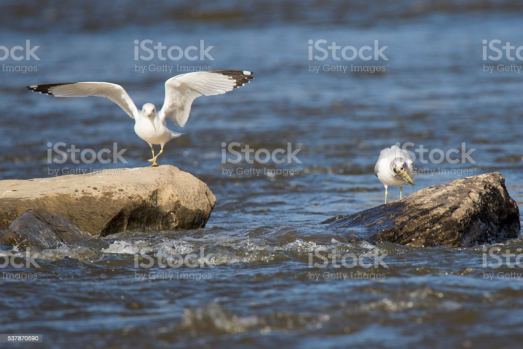 Fishing gulls stock photo