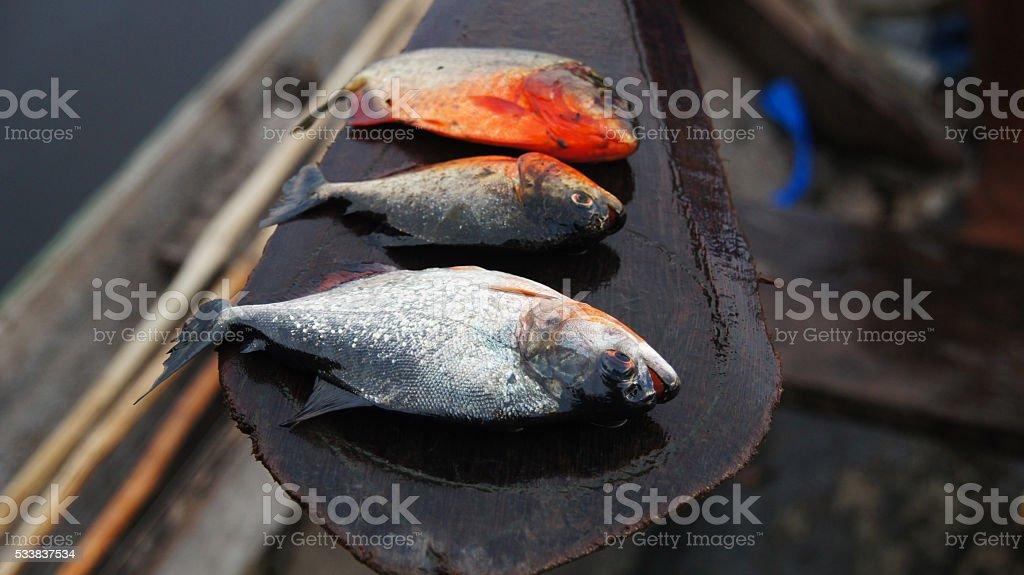 Fishing in Amazonas, Brazil - Piranha Caju (Pygocentrus natterery) stock photo