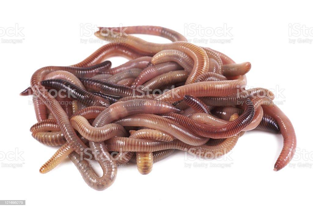 Fishing, live bait, red worm Dendrobena stock photo
