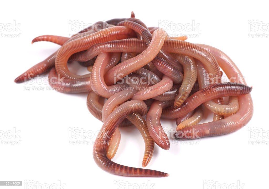 Fishing, live bait, red worm Dendrobena royalty-free stock photo