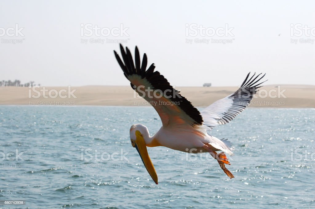 Fishing Pelican in the Walvis Bay in Namibia stock photo