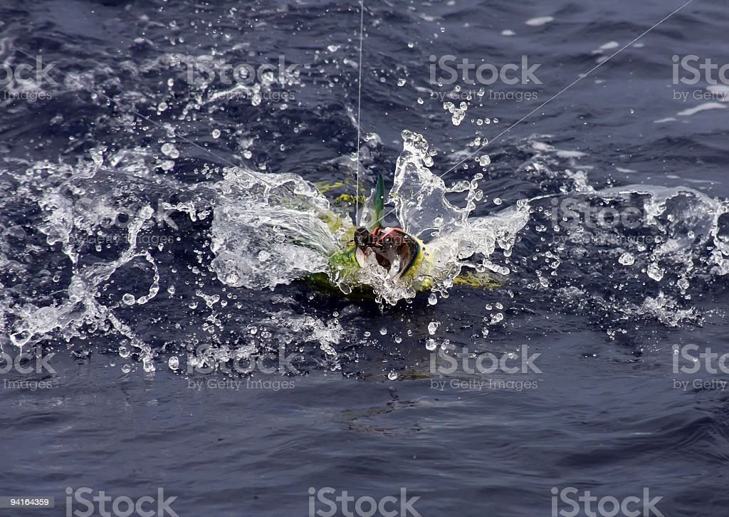 Fishing Yellowfin royalty-free stock photo